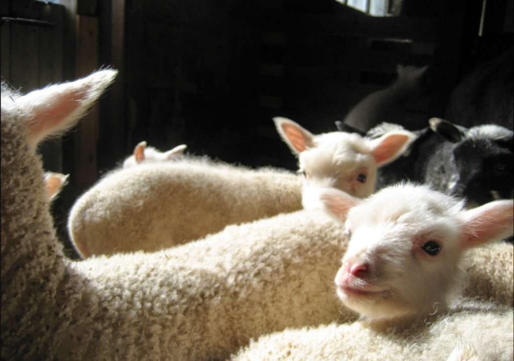 Vita små lamm i grupp