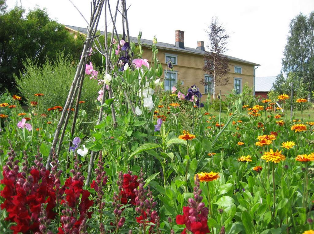 Sommarblommor i trädgårdsland med norrbottensgård i bakgrunden