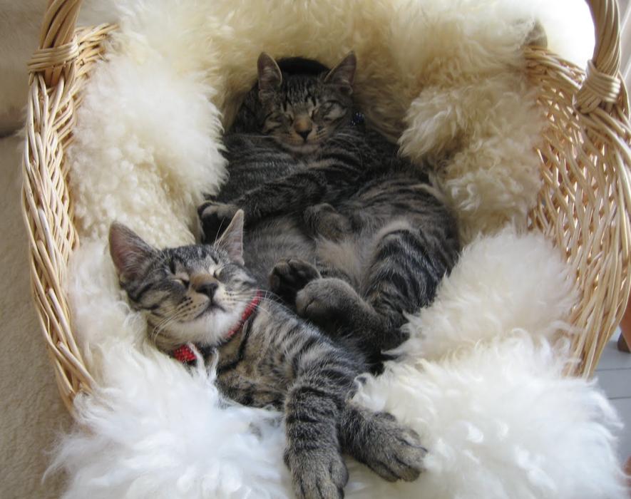 Katterna Kurre och Tjorv sover i en korg med lammskinn