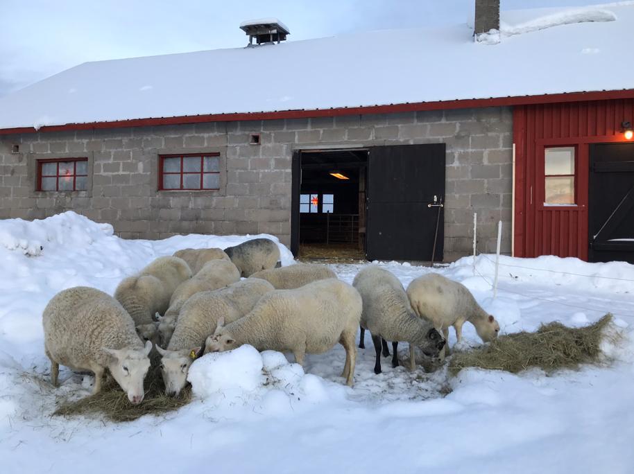 tackor som äter hö ute i snön